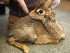 cucciolo-di-antilope
