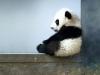 cucciolo-di-panda