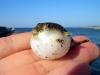 piccolo-pesce-palla