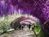 Glicini in fiore