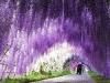 Glicini in fiore in Giappone