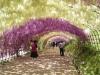 Wisteria Tunnel in fiore