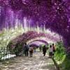 Wisteria Tunnel nei Kawachi Fuji Gardens a Kitakyushu in Giappone
