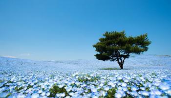 Hitachi Seaside Park: in Giappone fioriscono milioni di fiori blu