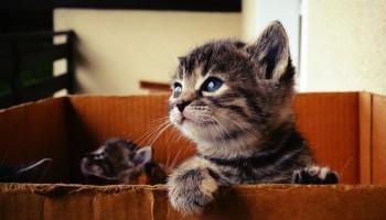 Perché i gatti fanno le fusa: significato e benefici