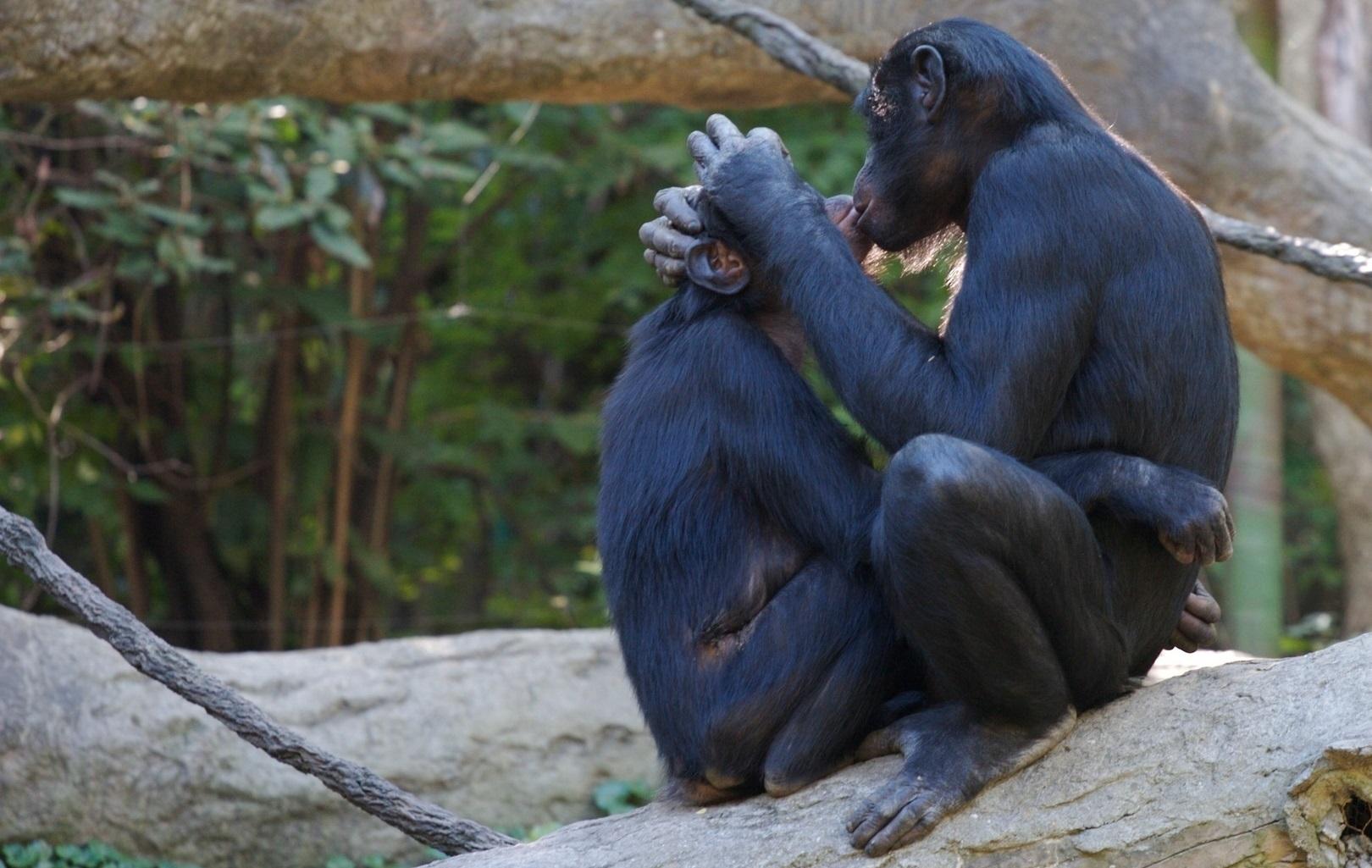 Bonobo gay
