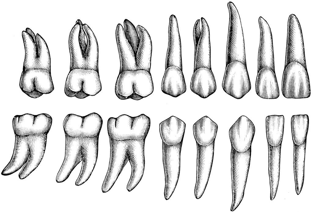 denti umani