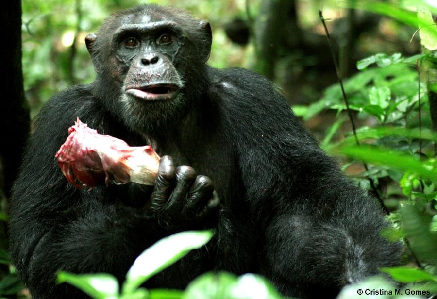scimmia mangia carne