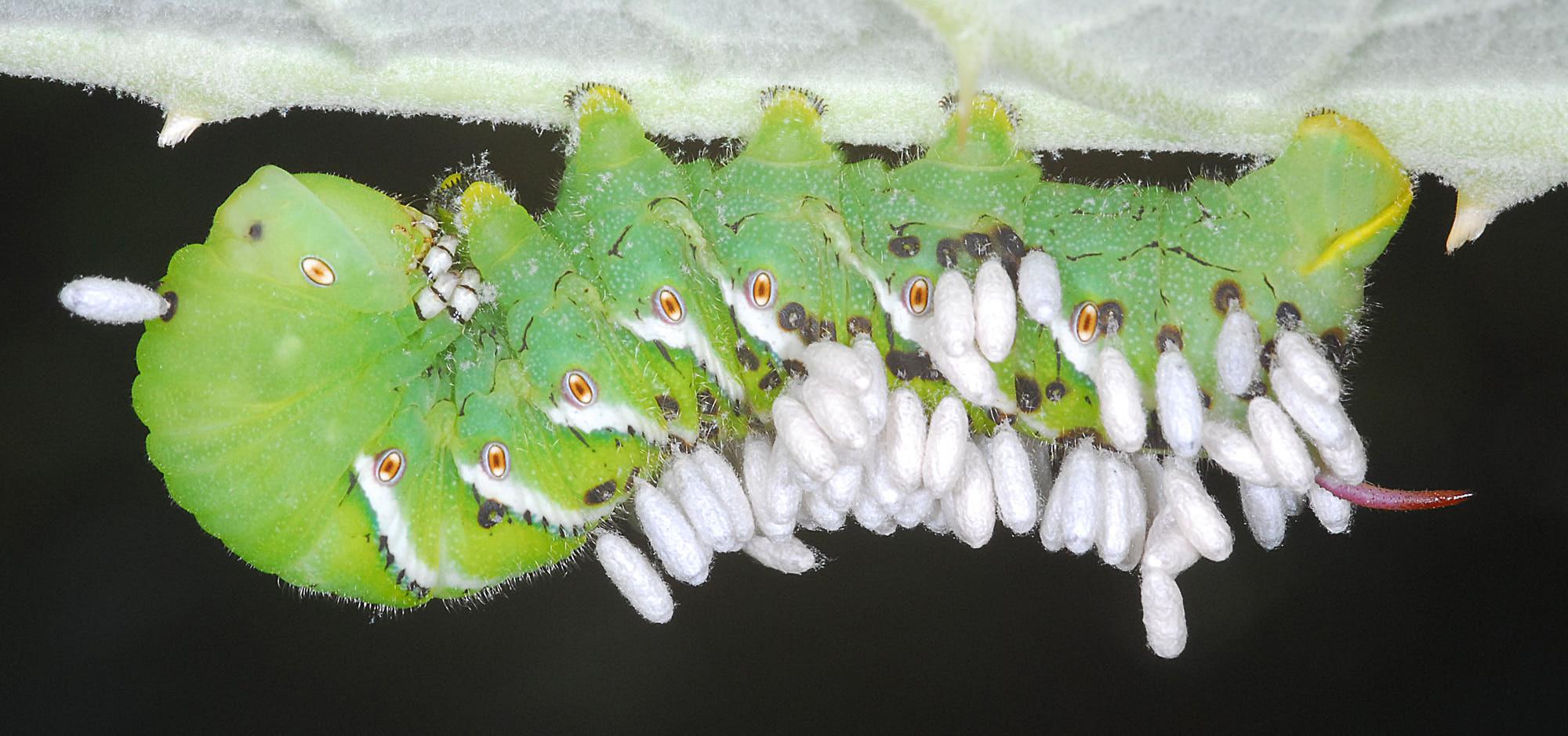 Bruco con larve di Icneumonide