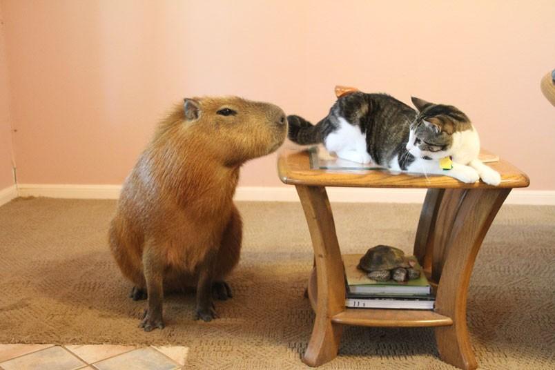 Gary il Capibara con Flopsy