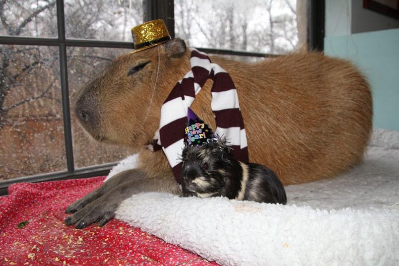 Gary il Capibara durante un party di Capodanno