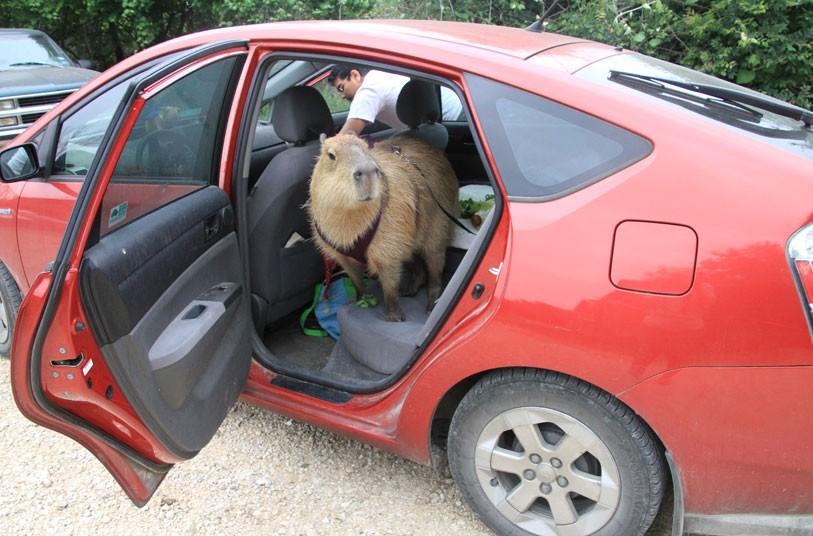 Gary il Capibara in macchina
