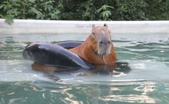 Gary il Capibara in piscina