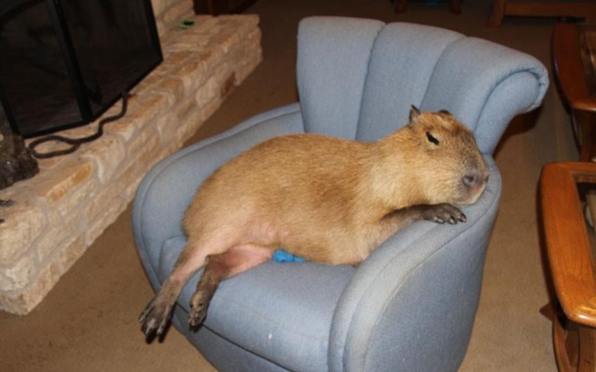 Gary il capibara in un momento di relax