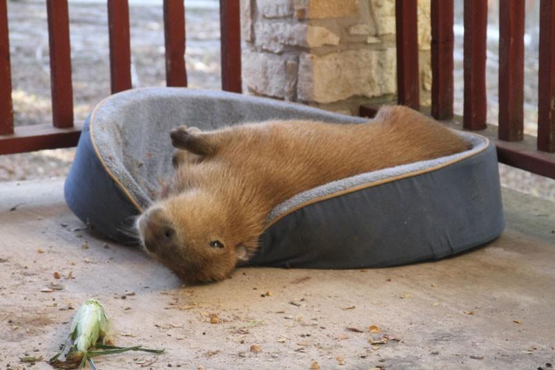 Momento di relax per Gary il Capibara