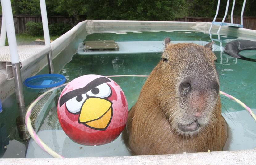 Spasso in piscina per Gary il Capibara