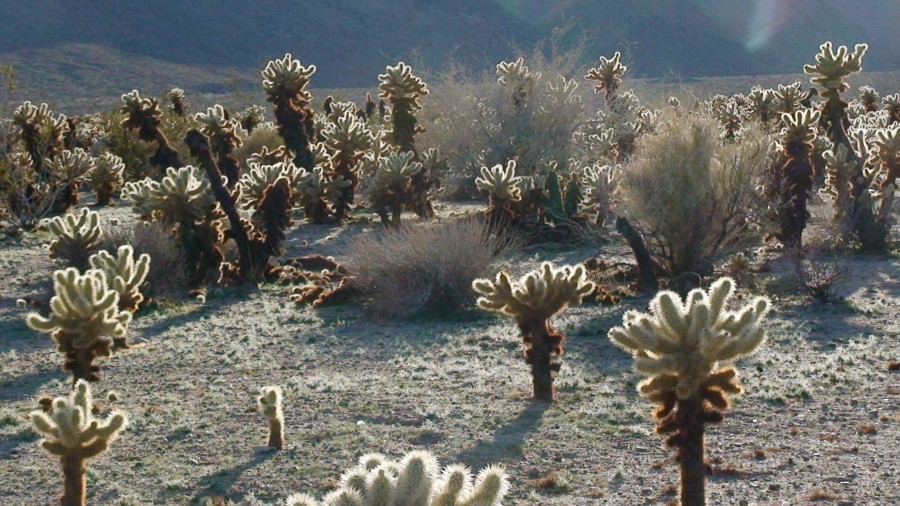 Flora del Joshua Tree National Park