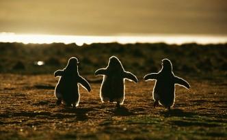 Piccoli pinguini