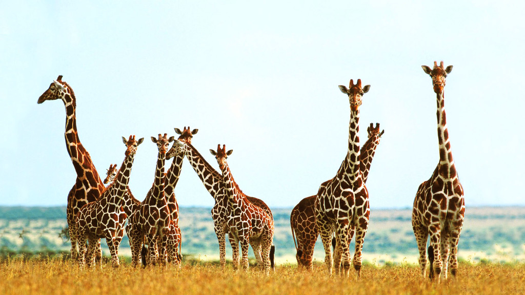 Branco di giraffe