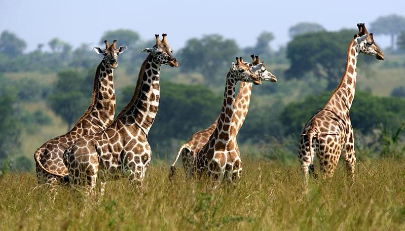 Giornata della giraffa