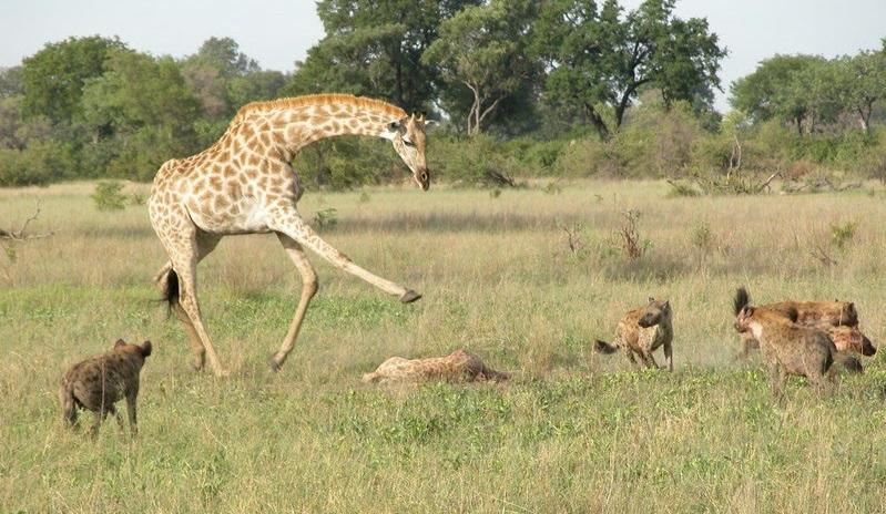 Giraffa attacca le iene