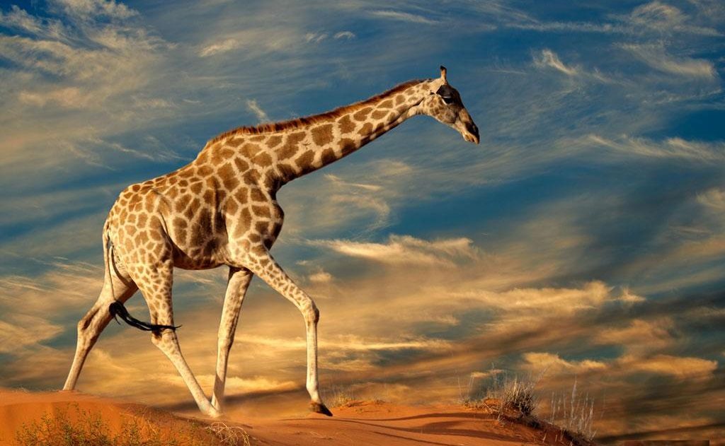 Giraffa che cammina