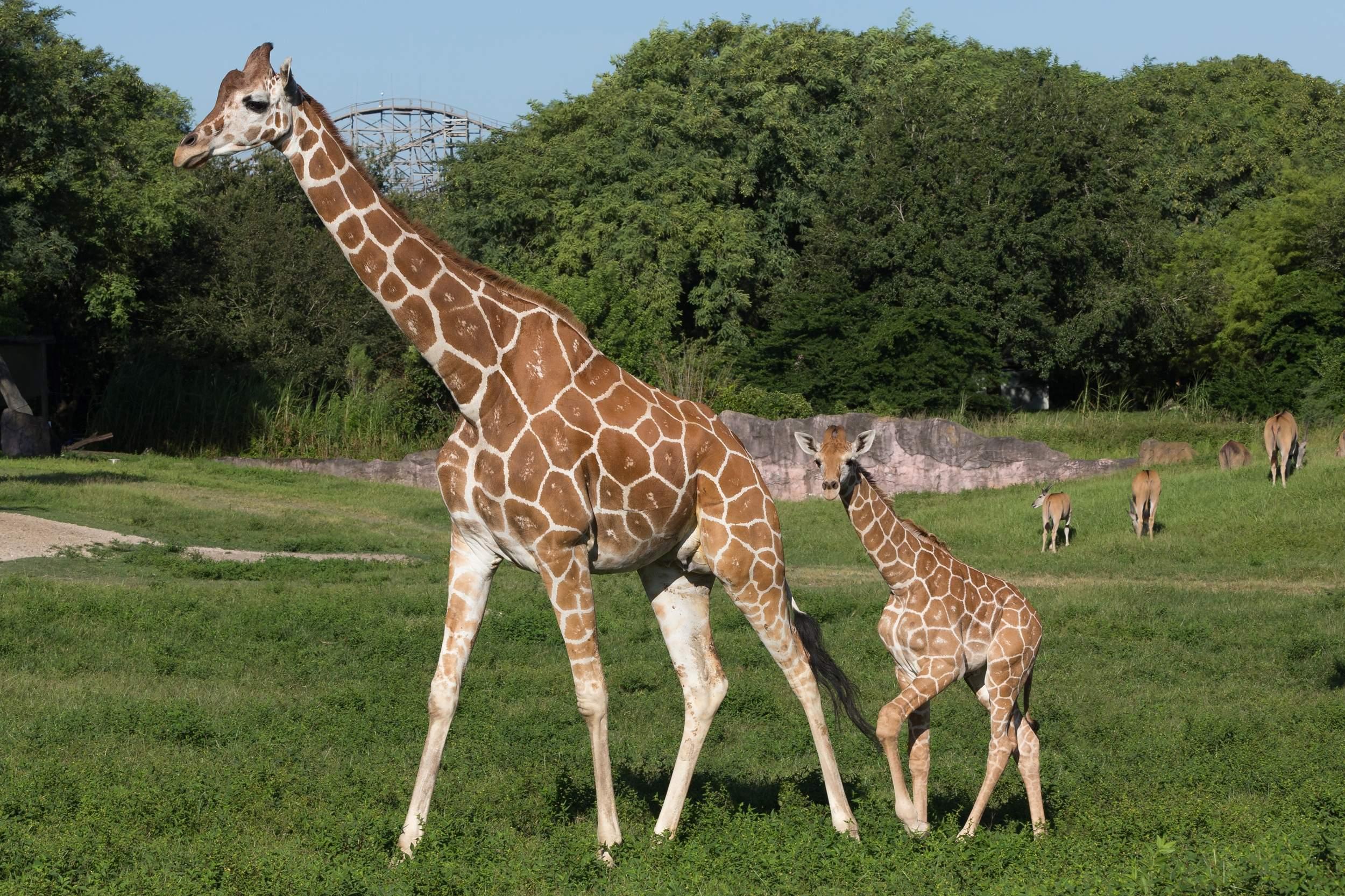 Giraffa con il suo cucciolo
