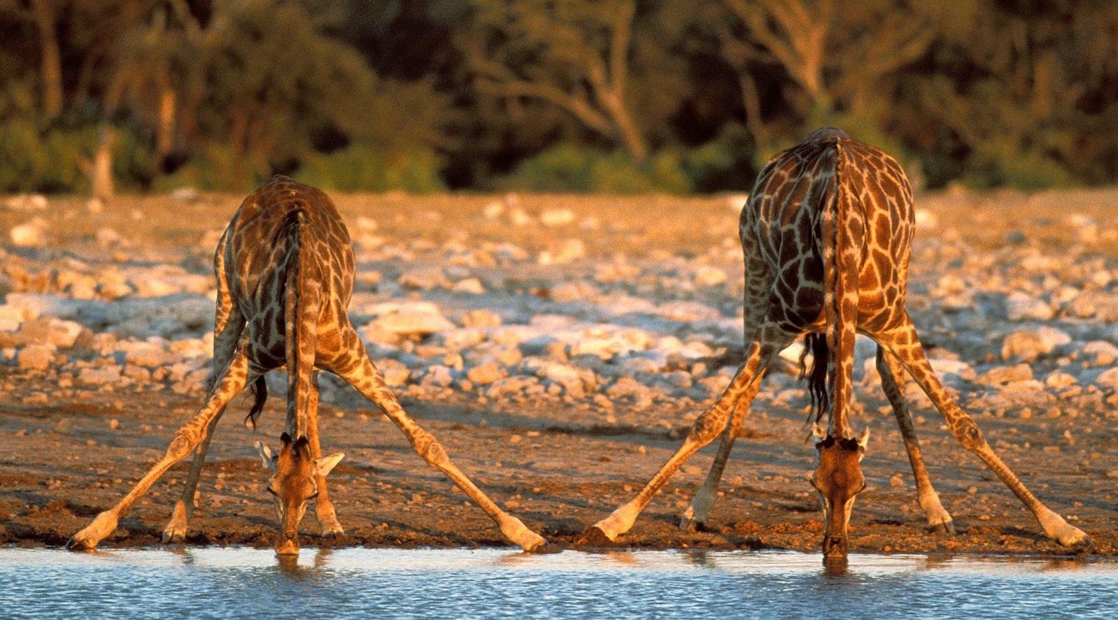 Giraffe che bevono