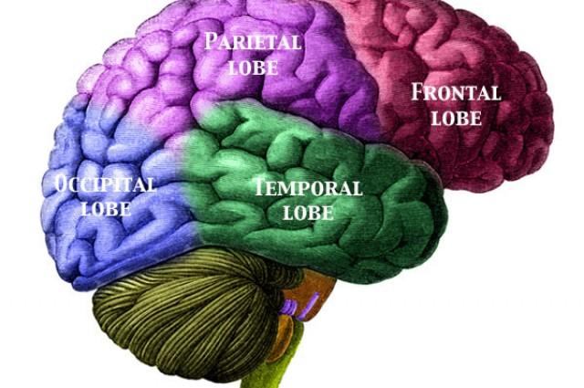 Lobi cerebrali
