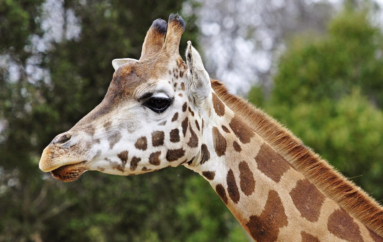 Ossiconi di giraffa