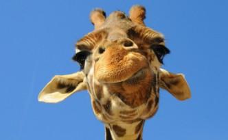 Primo piano di giraffa