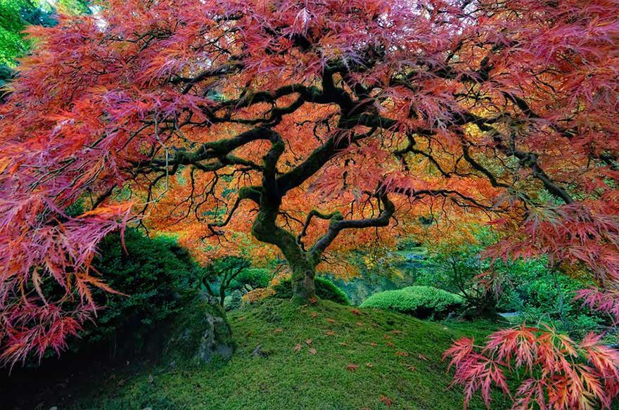I 16 alberi pi belli del mondo gizzeta for Acero rosso giapponese