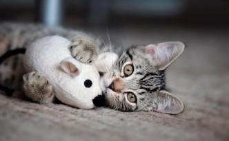 I gatti possono prendere una specie di tenia mangiando i topi