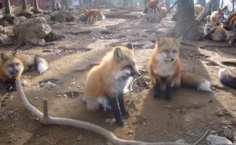 Volpi dello Zao Fox Village in Giappone