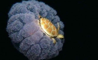 Tartaruga e medusa