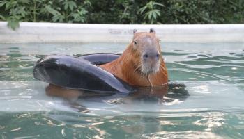 Gary il capibara, il roditore domestico più grande del mondo
