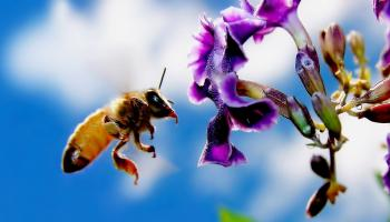 Che fine hanno fatto le api? Cronaca di una presunta estinzione