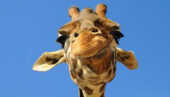 20 Curiosità sulle giraffe che forse non conoscete